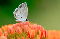 Eastern Tailed Blue II