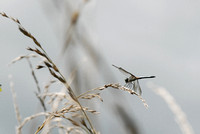 Dragonfly in weeds